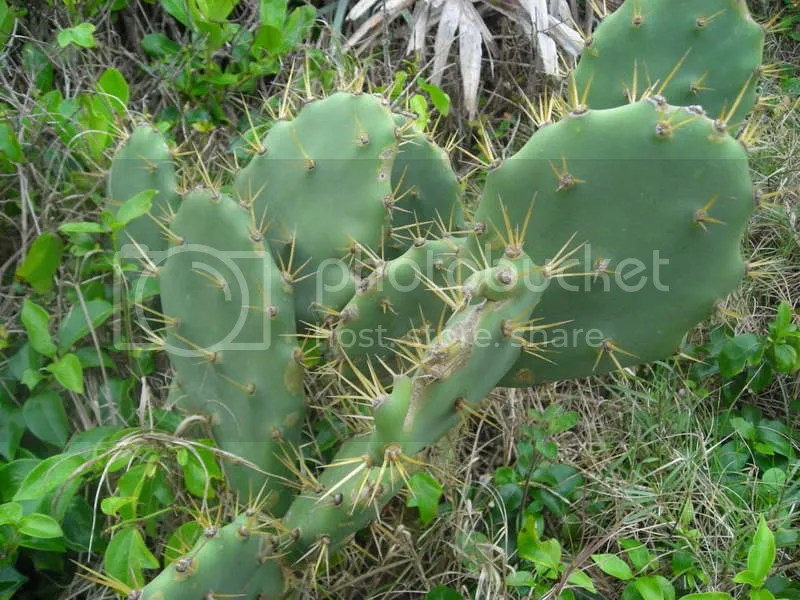 Southern Prickly Pear