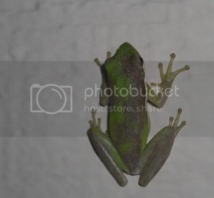 A native Floridian green tree frog