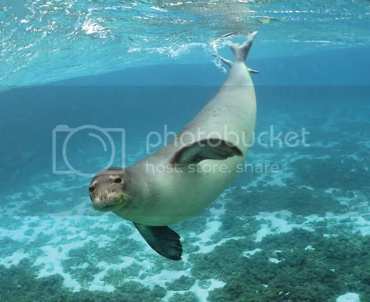 A Hawaiian Monk Seal