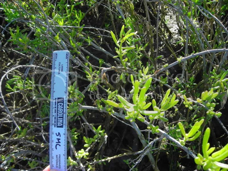 Saltwort, also known as turtleweed, how confusing!