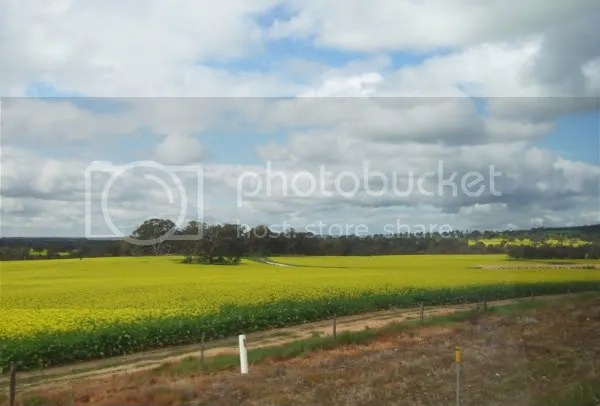 Fields and fields of yellow.
