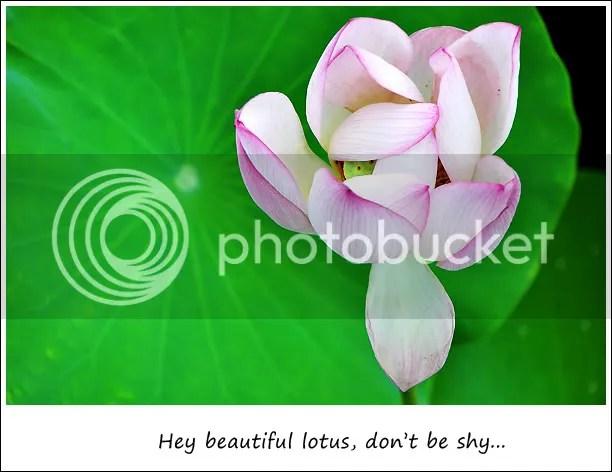 Shy lotus