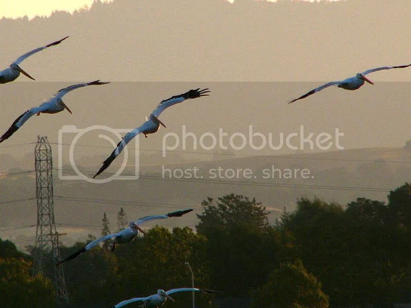 Flying Pelicans, Mountain View, CA