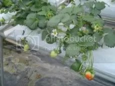 Strawberry Plant.