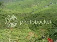 Valley Of Tea Plants.