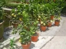 Lemon Trees.
