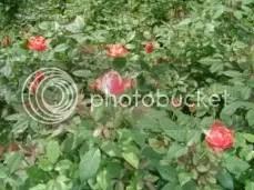 Red-White Roses.