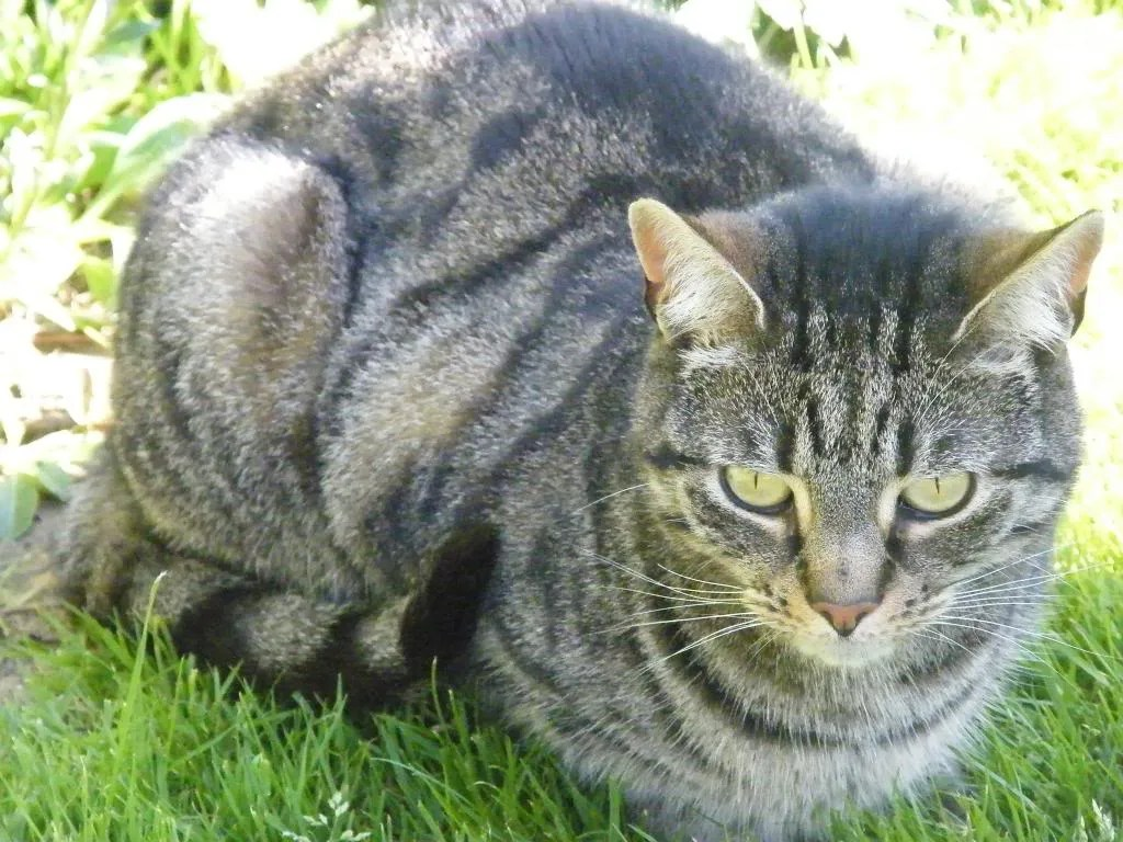 A tabby cat, lying down but looking alert