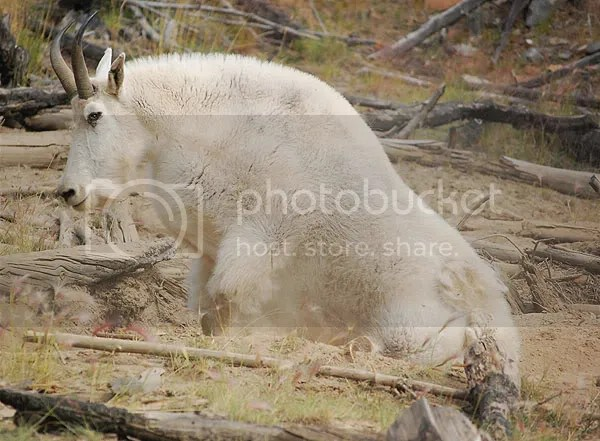 photo goat.jpg