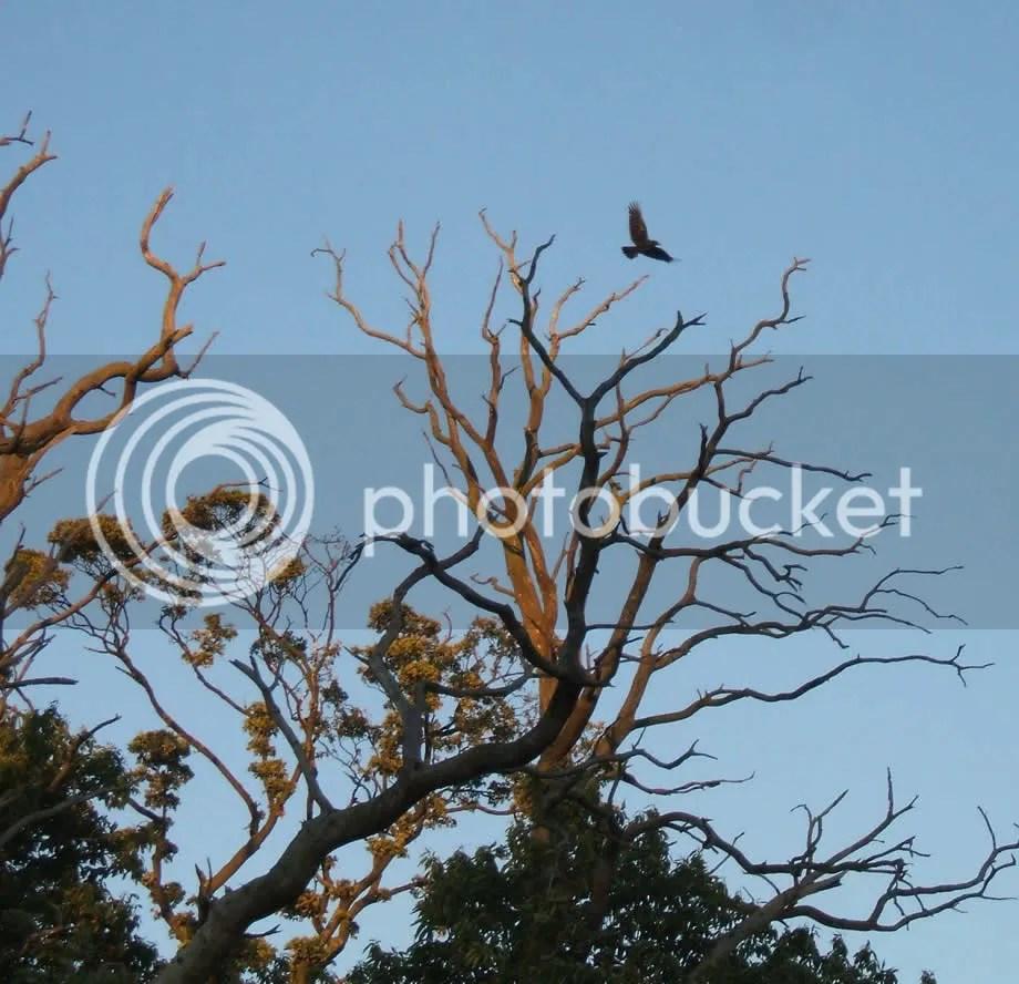 Crows in Leomondsley