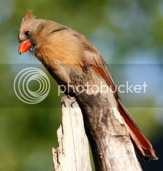 Cardinal photo AfterC.jpg