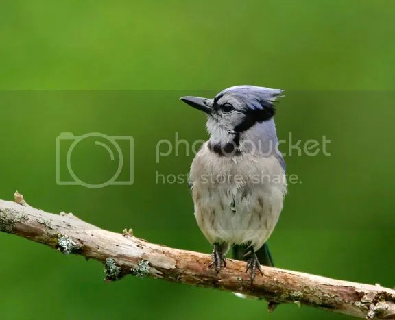 Blue Jay photo BJaya.jpg
