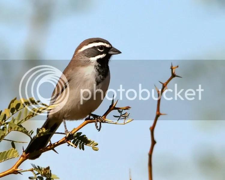 Black-throated Sparrow photo BTSparrow1.jpg