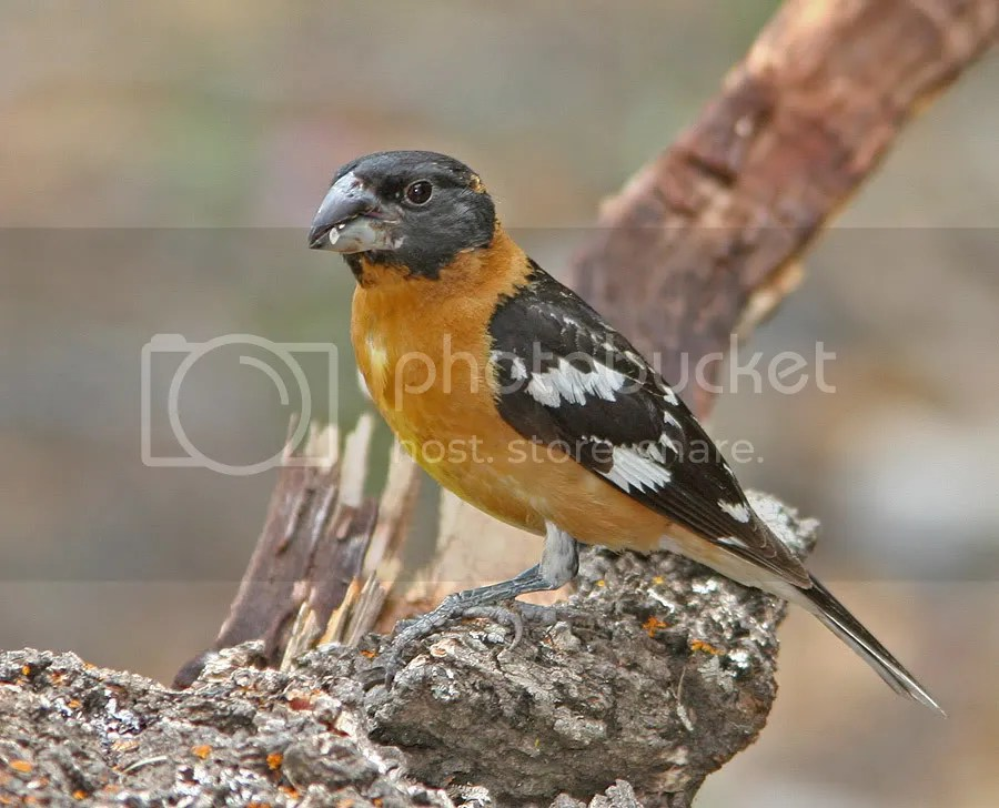 Black-headed Grosbeak Male photo Black-headedGrosbeakM1.jpg