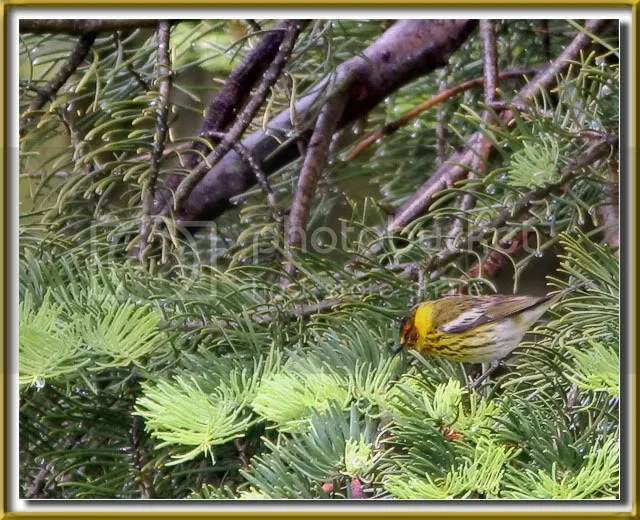 Cape May Warbler photo CMW.jpg