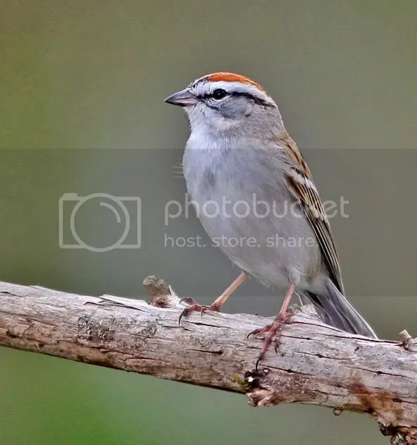 Sparrow, Chipping photo CSINL.jpg