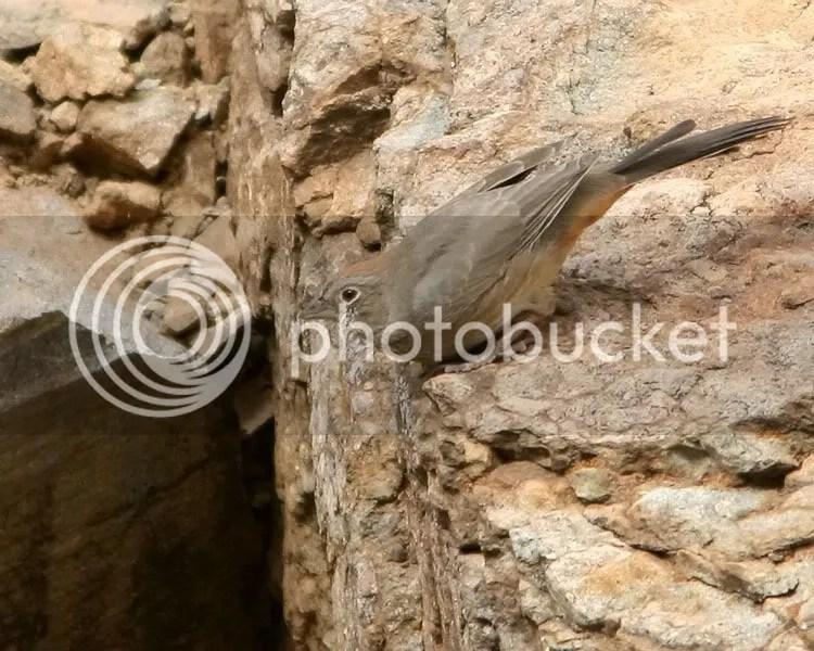 Canyon Towhee photo CTowhee2a.jpg
