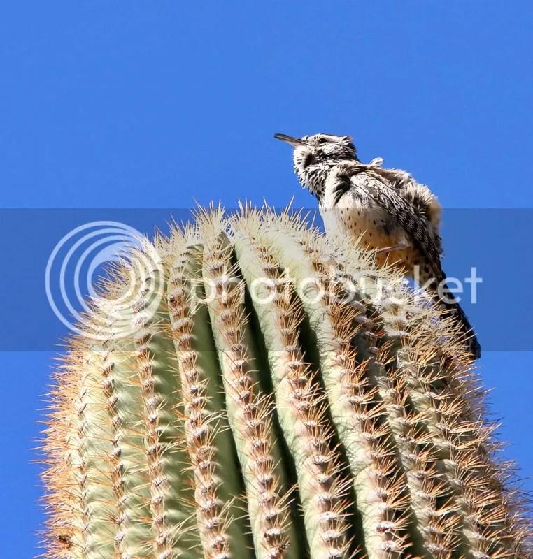 Cactus Wren photo CWren.jpg