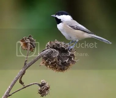 Chickadee Carolina photo ChickD.jpg