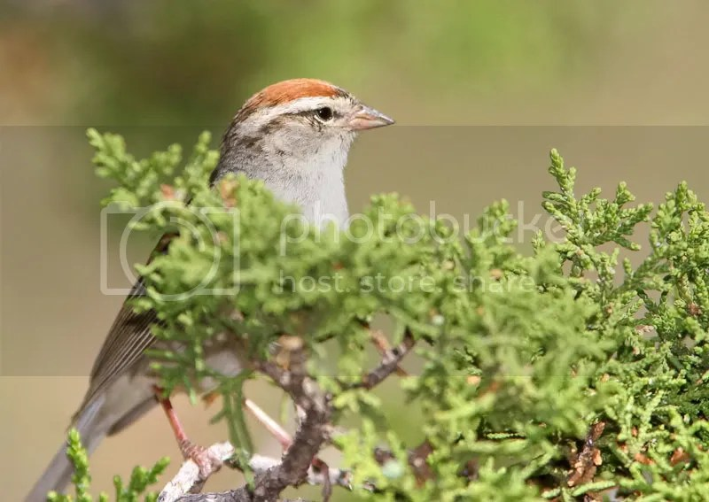 Chipping Sparrow photo ChipperPT.jpg