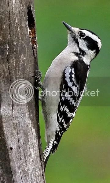 Woodpecker Downy photo DF.jpg