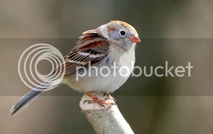 Sparrow, Field photo FSINSUN.jpg