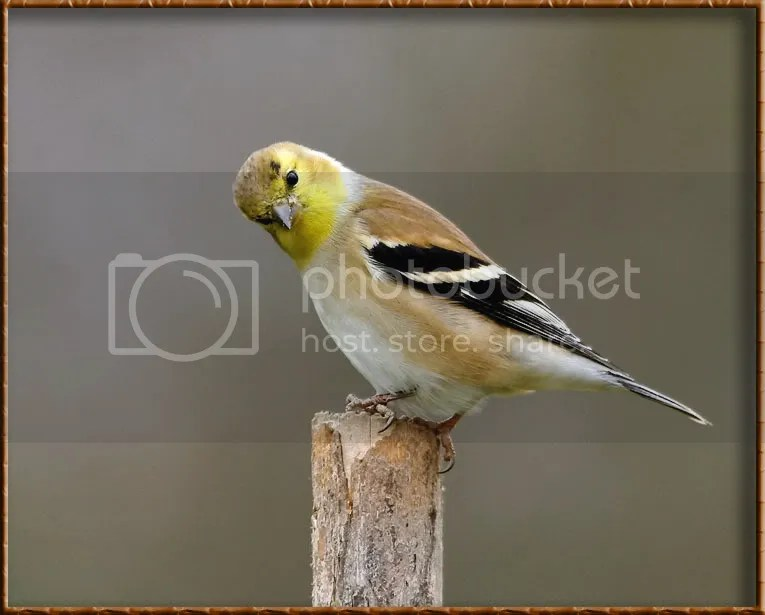 Gold Finch photo GFAT8.jpg