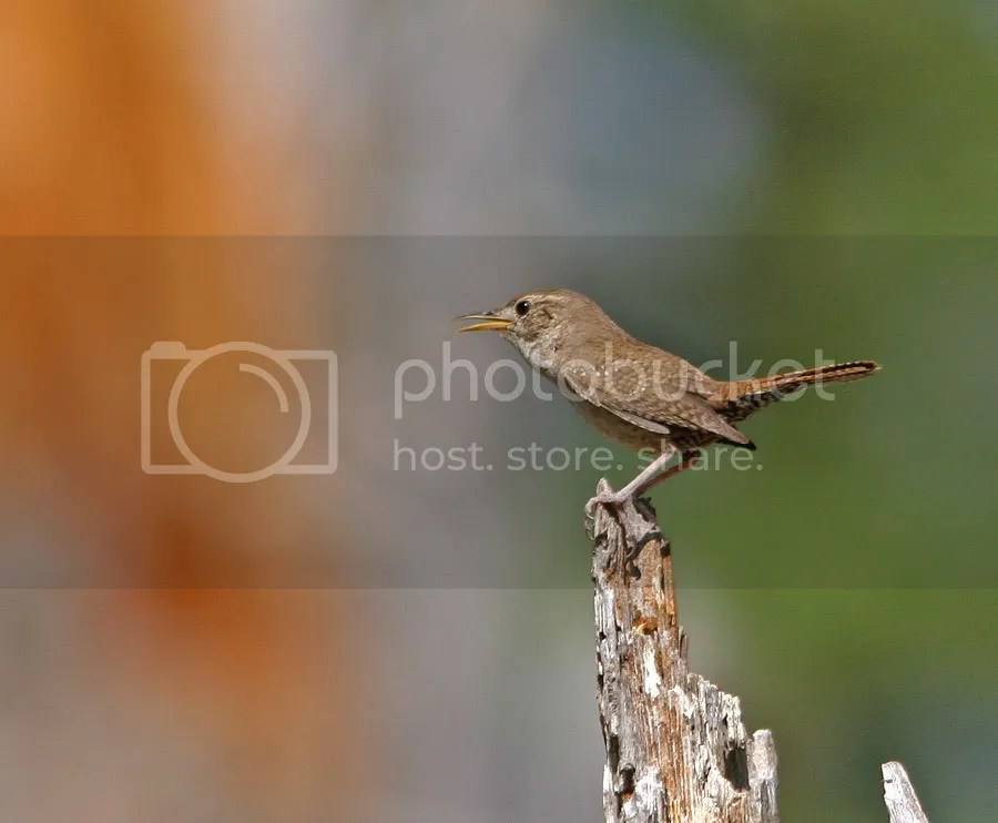 Wren House photo HouseWren.jpg