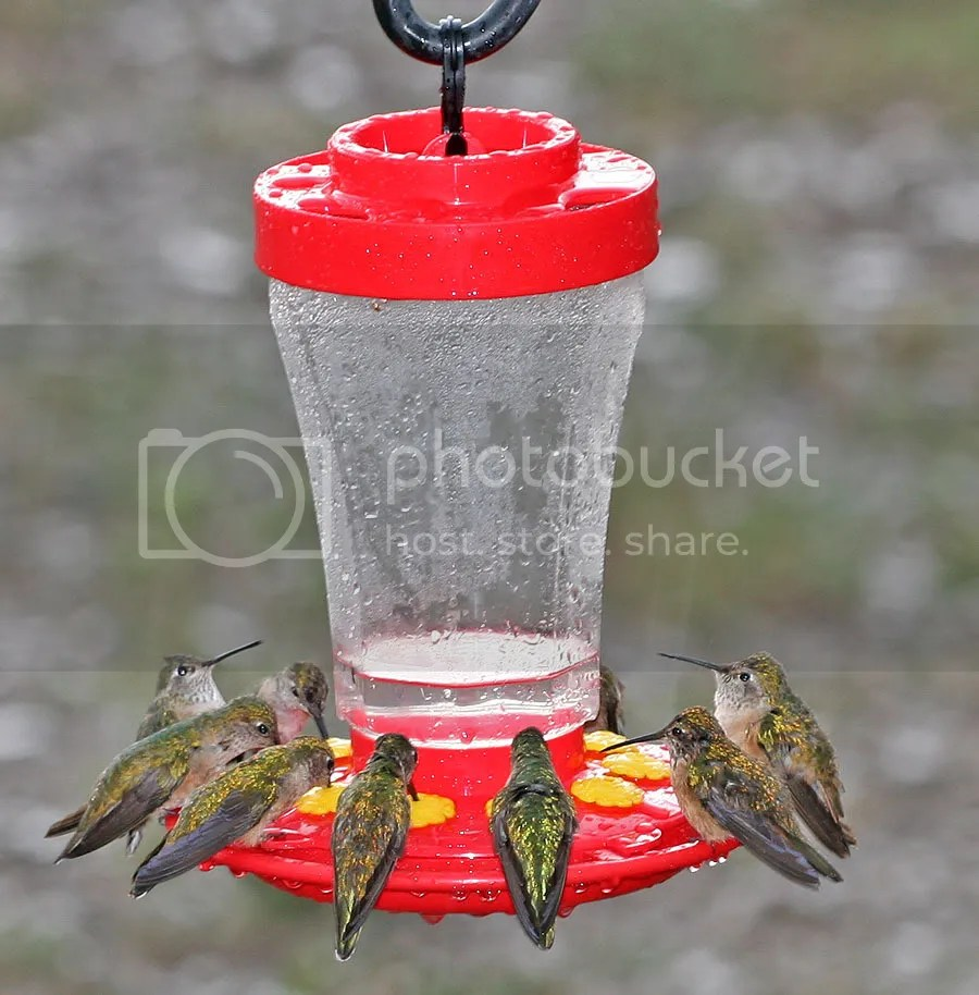 Broad Tailed Hummers photo Hummersinrain.jpg