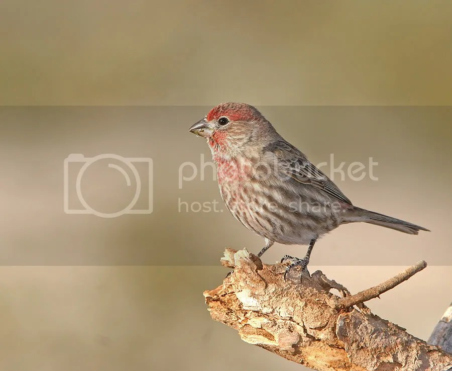 House Finch photo MRFinch.jpg