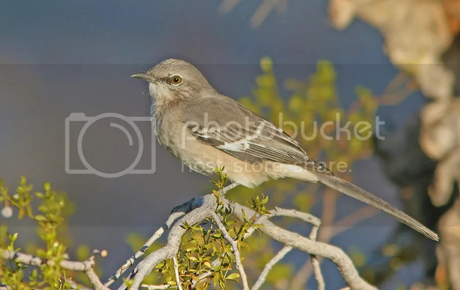 Mocking Bird photo MockingBird8086.jpg