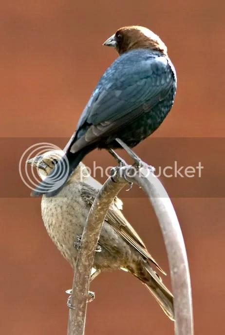 Cowbird photo MrMs.jpg
