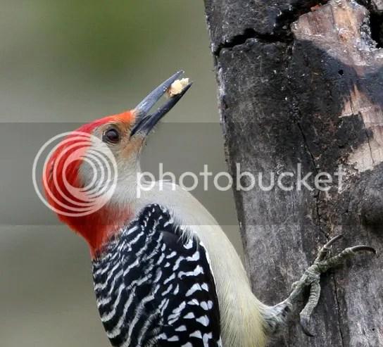 Woodpecker Red-bellied photo RBM.jpg