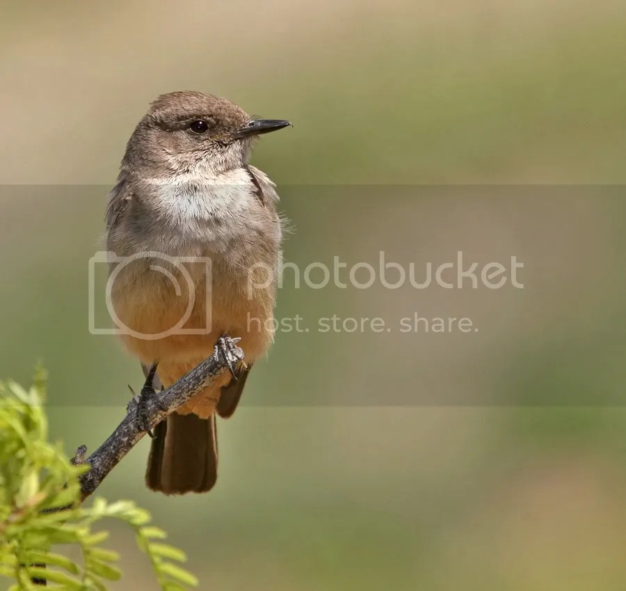 Say's Phoebe photo SaysPhoebe-1.jpg