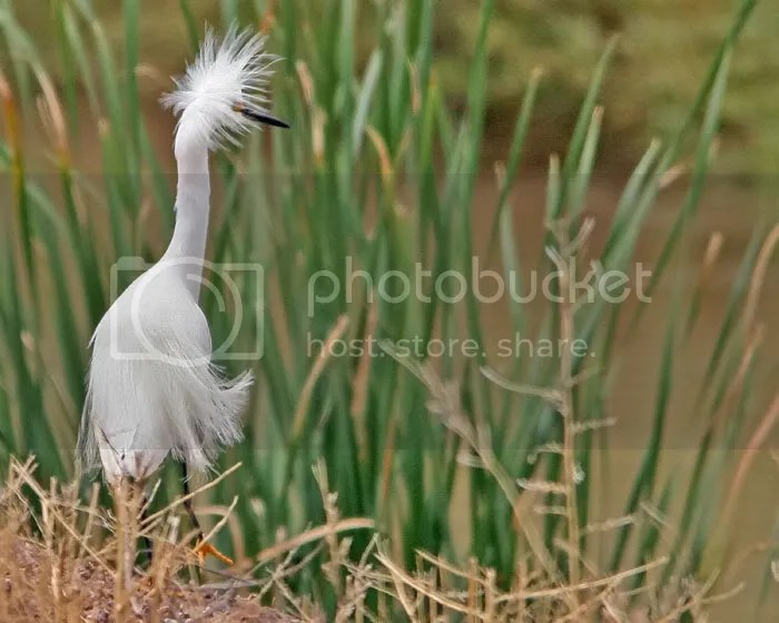 Snowy Egret photo SnowyEgret.jpg