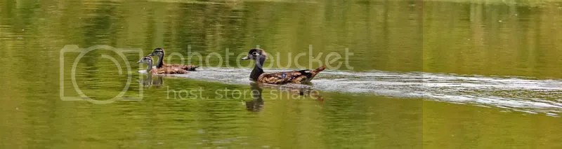 Wood Duck photo TONEST.jpg