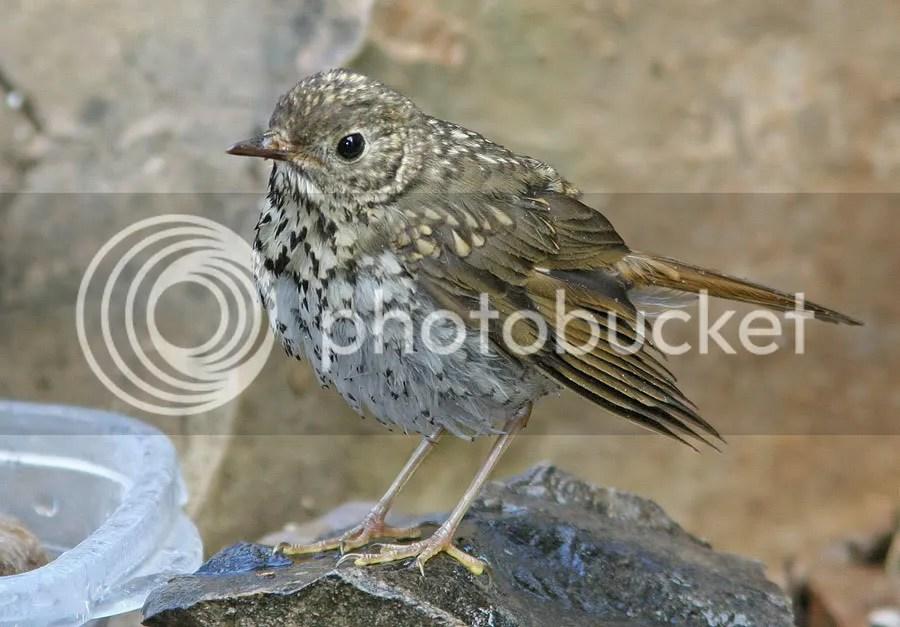 Thrushes Hermit (chick) photo TS.jpg