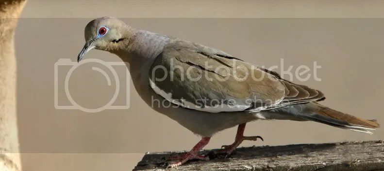 White Winged Dove photo WWDove.jpg