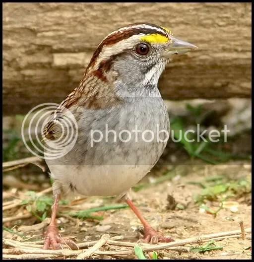 White-throated Sparrow photo cp.jpg