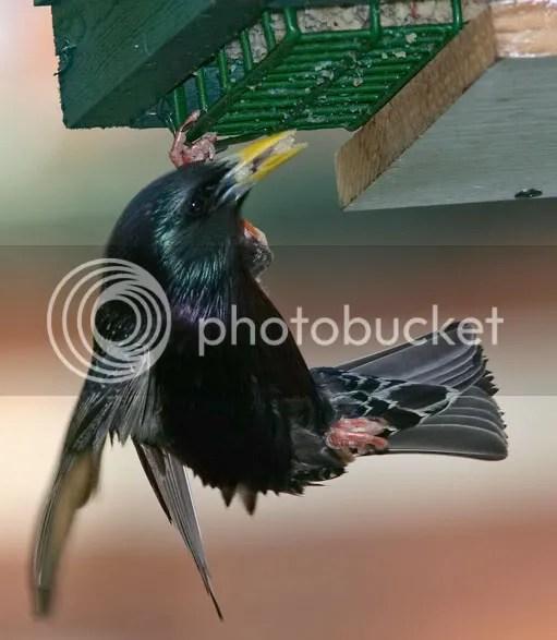 photo starling2.jpg