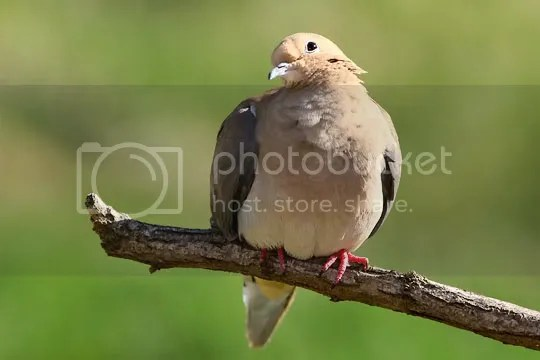 Dove, Mourning photo whome2.jpg