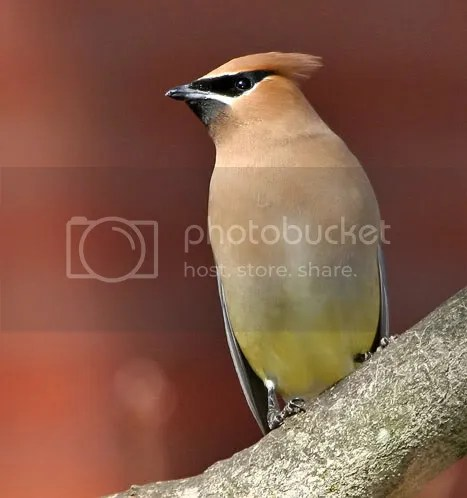 Cedar Waxwing photo ww22.jpg