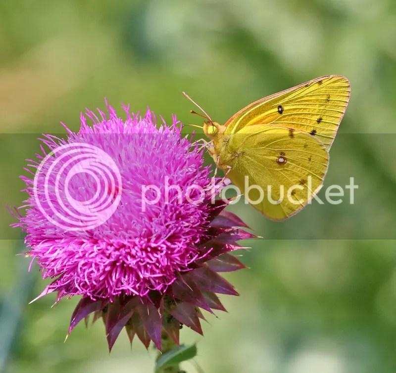 Orange  Sulphur photo ICFKB.jpg