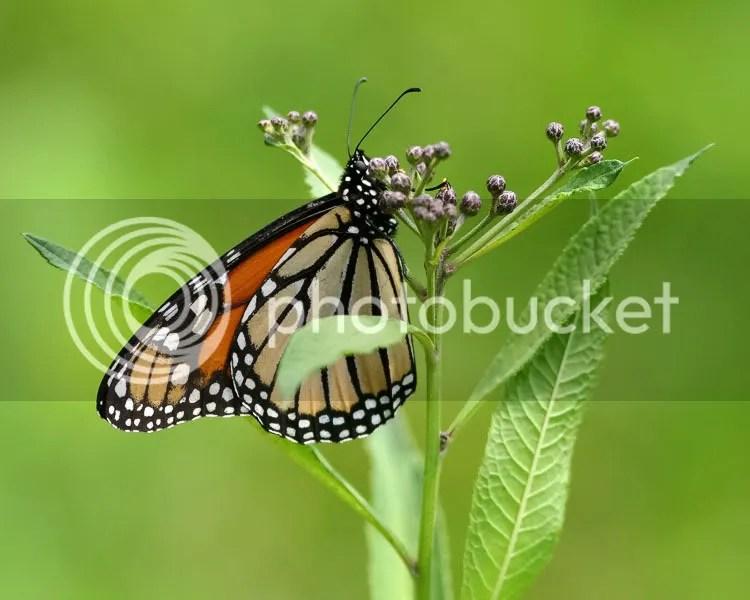 Monarch photo M2.jpg