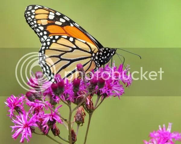 Monarch photo Mr.jpg