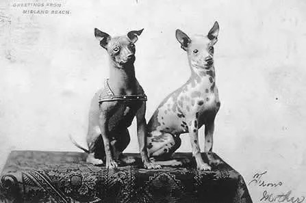 1906 Mexican Hairless Dogs photo 1906_MexicanHairless.jpg