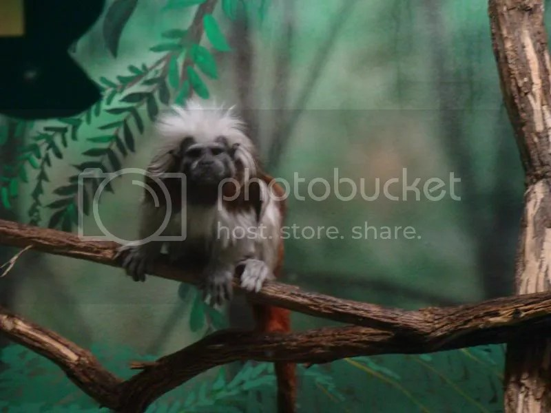 Cotton Topped Tamarin photo DSC08296.jpg