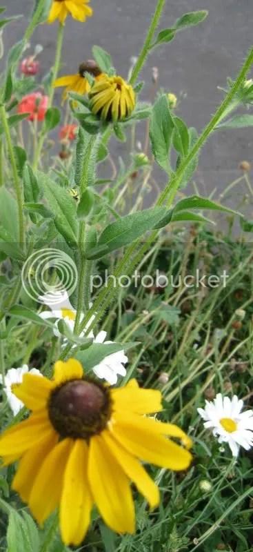 black eyed susans and daisies