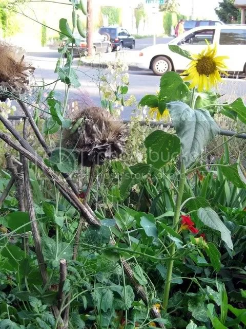 In the center of my garden I have 3 artichoke stalks from last year propped up. Growing on and up them are sweet peas and climbing nasturtiums. My garden is sort of messy. I like it wild like that.