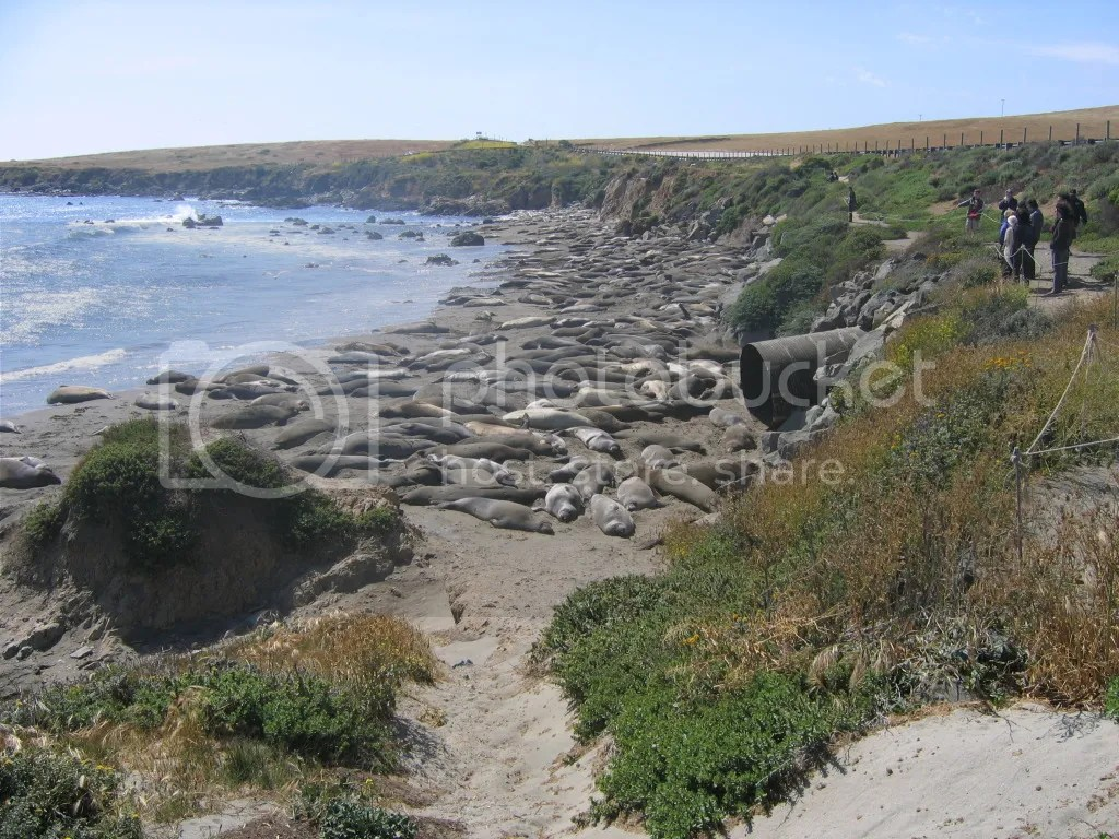 Masses of Elephant Seals on Highway One